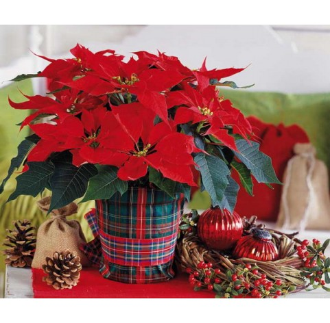 Poinsettia (Christmas flower) set of cutters and vainers, 3 elements, ~ 2.1*3.4 cm, ~ Ø 2 cm
